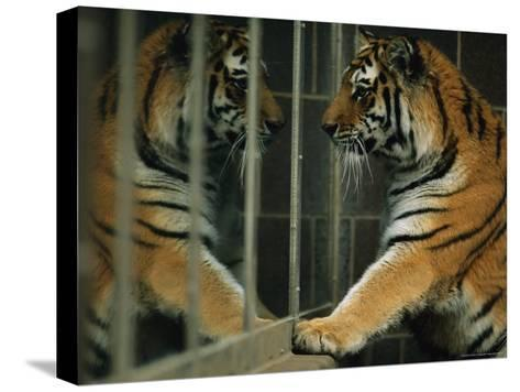Siberian Tiger Looks at Its Reflection in a Mirror-Joel Sartore-Stretched Canvas Print