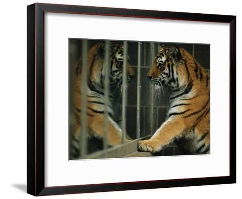 Siberian Tiger Looks at Its Reflection in a Mirror-Joel Sartore-Framed Art Print