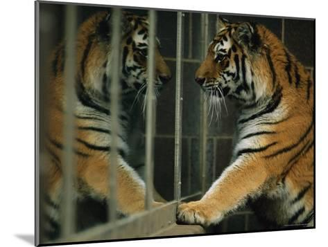 Siberian Tiger Looks at Its Reflection in a Mirror-Joel Sartore-Mounted Photographic Print