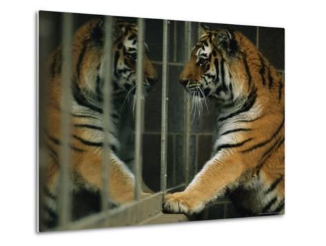 Siberian Tiger Looks at Its Reflection in a Mirror-Joel Sartore-Metal Print