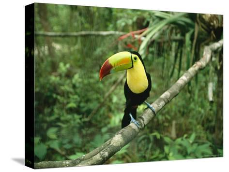 Toucan Sits on a Tree Limb in the Belize Zoo-Stephen Alvarez-Stretched Canvas Print