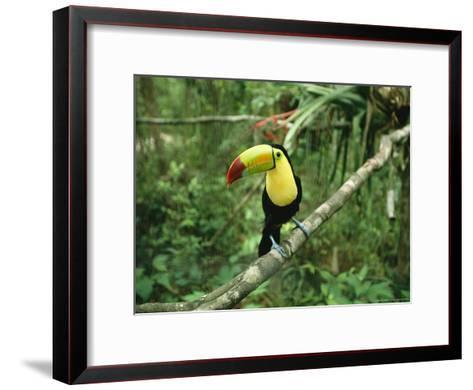 Toucan Sits on a Tree Limb in the Belize Zoo-Stephen Alvarez-Framed Art Print