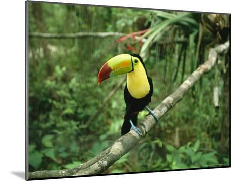 Toucan Sits on a Tree Limb in the Belize Zoo-Stephen Alvarez-Mounted Photographic Print