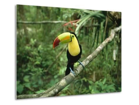 Toucan Sits on a Tree Limb in the Belize Zoo-Stephen Alvarez-Metal Print