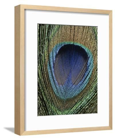 Close View of a Colorful Peacock Feather-Marc Moritsch-Framed Art Print