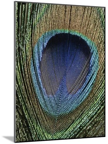 Close View of a Colorful Peacock Feather-Marc Moritsch-Mounted Photographic Print