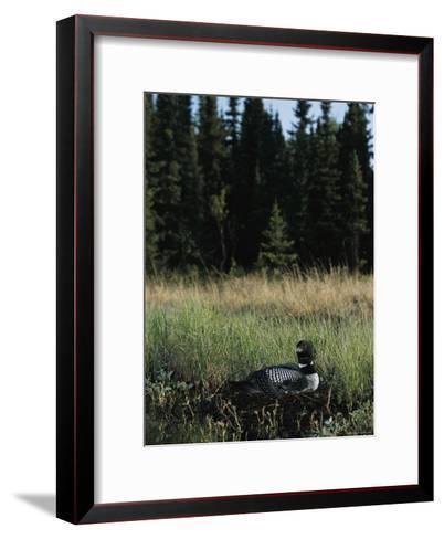 Common Loon, Kenai Peninsula, Alaska-Roy Toft-Framed Art Print