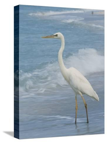 Great Blue Heron, White Morph, Florida-Roy Toft-Stretched Canvas Print