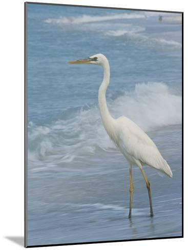 Great Blue Heron, White Morph, Florida-Roy Toft-Mounted Photographic Print