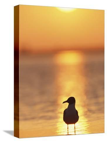 Laughing Gull, Florida-Roy Toft-Stretched Canvas Print
