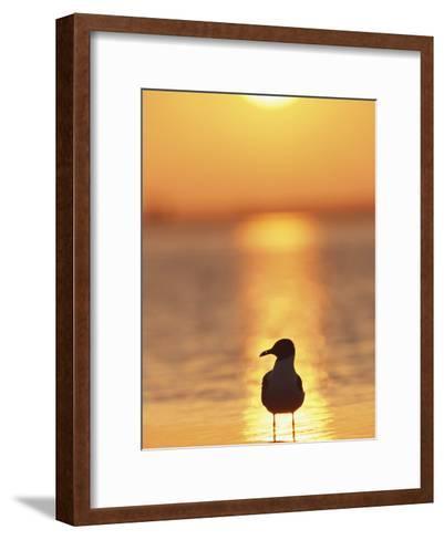 Laughing Gull, Florida-Roy Toft-Framed Art Print