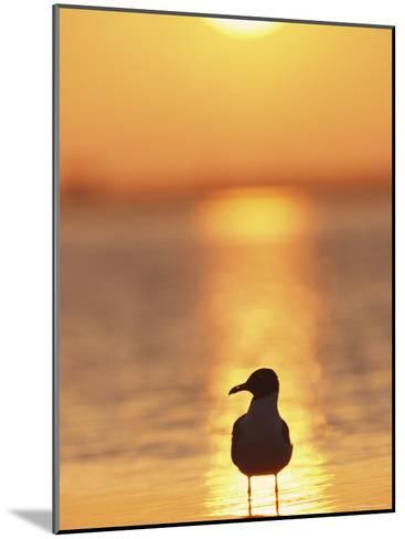 Laughing Gull, Florida-Roy Toft-Mounted Photographic Print
