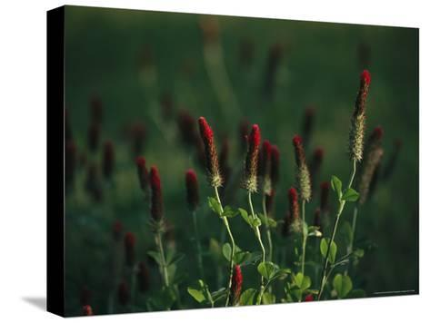 Cluster of Crimson Clover Blossoms-Raymond Gehman-Stretched Canvas Print