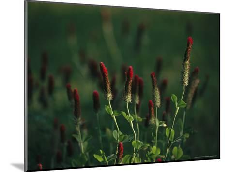 Cluster of Crimson Clover Blossoms-Raymond Gehman-Mounted Photographic Print