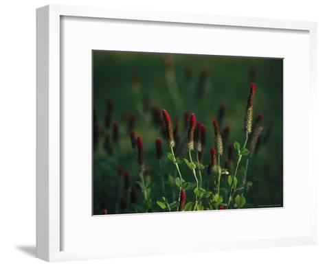 Cluster of Crimson Clover Blossoms-Raymond Gehman-Framed Art Print