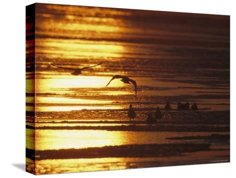 Birds in Flight and Standing on Beach at Twilight-Tim Laman-Stretched Canvas Print