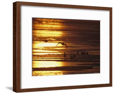 Birds in Flight and Standing on Beach at Twilight-Tim Laman-Framed Art Print