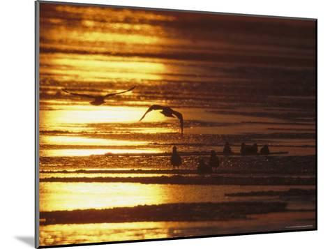 Birds in Flight and Standing on Beach at Twilight-Tim Laman-Mounted Photographic Print