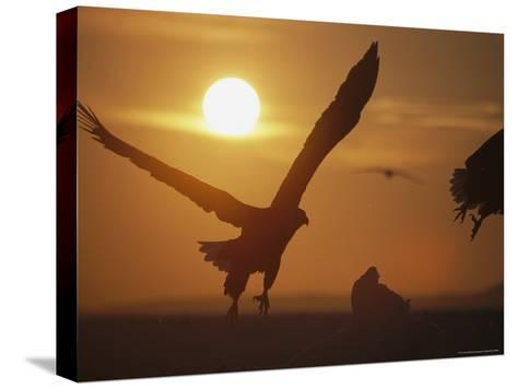 Endangered White-Tailed Sea Eagle Taking a Twilight Flight-Tim Laman-Stretched Canvas Print