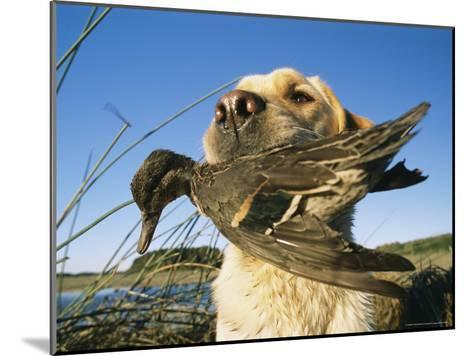 Yellow Labrador Retrieves a Duck From the Back River-Heather Perry-Mounted Photographic Print