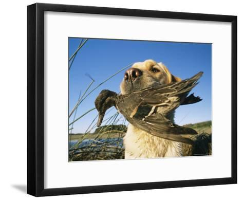 Yellow Labrador Retrieves a Duck From the Back River-Heather Perry-Framed Art Print