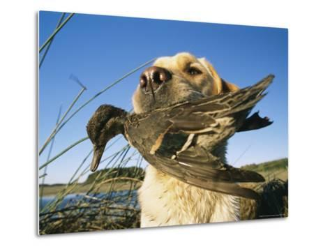 Yellow Labrador Retrieves a Duck From the Back River-Heather Perry-Metal Print