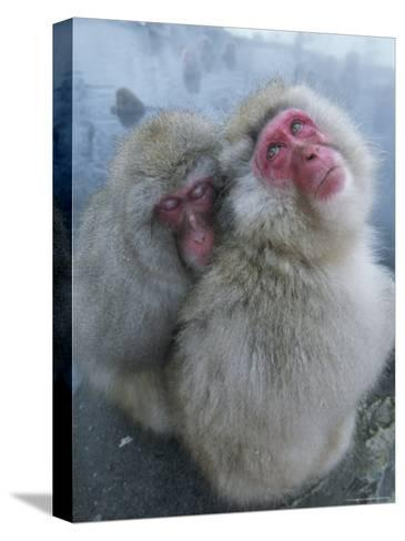 Pair of Japanese Macaques Huddled on the Edge of a Hot Spring-Tim Laman-Stretched Canvas Print