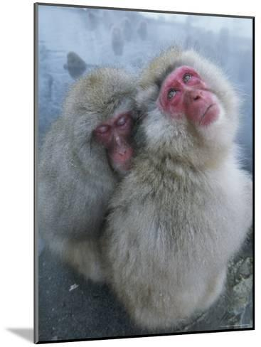 Pair of Japanese Macaques Huddled on the Edge of a Hot Spring-Tim Laman-Mounted Photographic Print