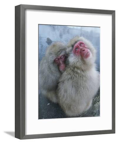 Pair of Japanese Macaques Huddled on the Edge of a Hot Spring-Tim Laman-Framed Art Print
