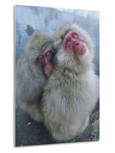 Pair of Japanese Macaques Huddled on the Edge of a Hot Spring-Tim Laman-Metal Print