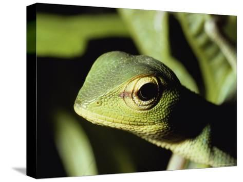 Close View of a Lizard-Peter Carsten-Stretched Canvas Print