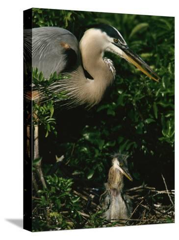 Great Blue Heron and Its Chick in Their Nest-Tim Laman-Stretched Canvas Print