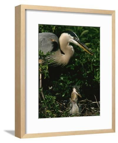 Great Blue Heron and Its Chick in Their Nest-Tim Laman-Framed Art Print