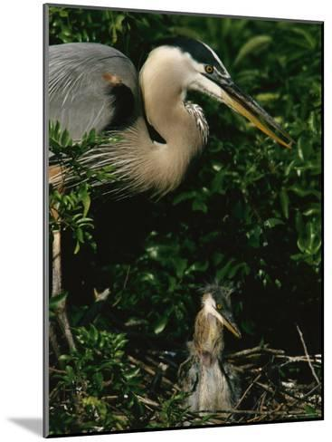 Great Blue Heron and Its Chick in Their Nest-Tim Laman-Mounted Photographic Print