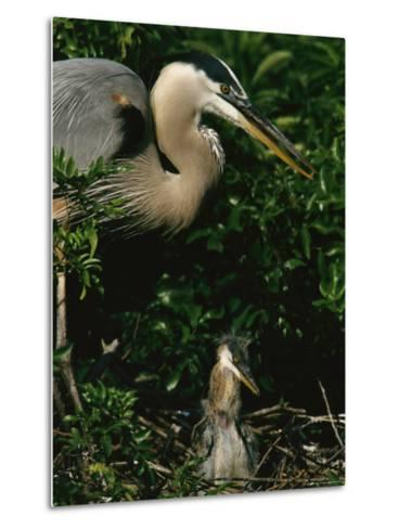 Great Blue Heron and Its Chick in Their Nest-Tim Laman-Metal Print