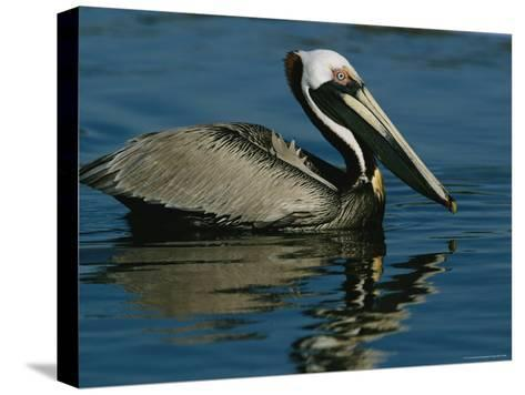 Brown Pelican Floating Calmly on the Water's Surface-Tim Laman-Stretched Canvas Print