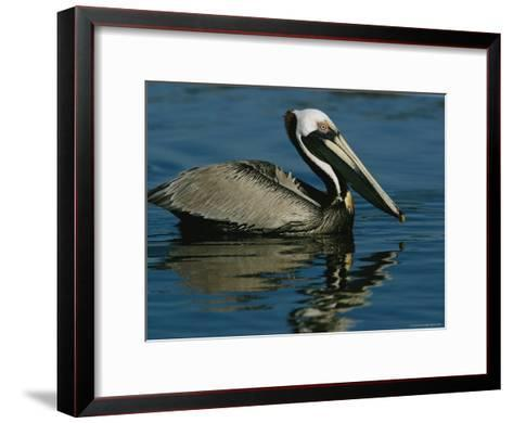 Brown Pelican Floating Calmly on the Water's Surface-Tim Laman-Framed Art Print