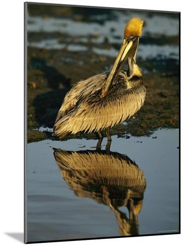 Brown Pelican Preening Its Feathers-Tim Laman-Mounted Photographic Print