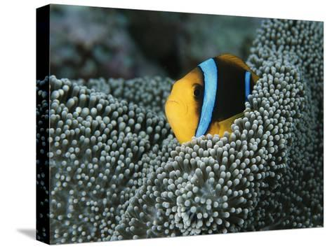 Orange-Fin Anemonefish Among the Tentacles of a Sea Anemone-Tim Laman-Stretched Canvas Print