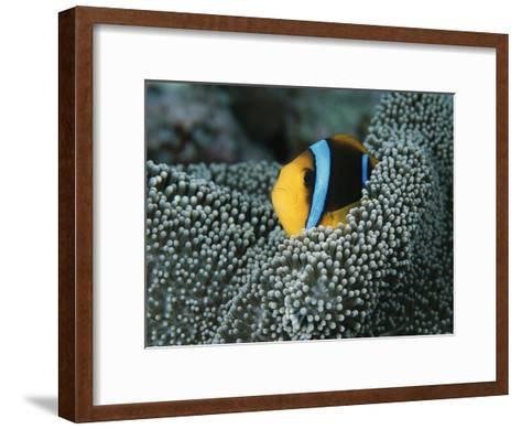 Orange-Fin Anemonefish Among the Tentacles of a Sea Anemone-Tim Laman-Framed Art Print