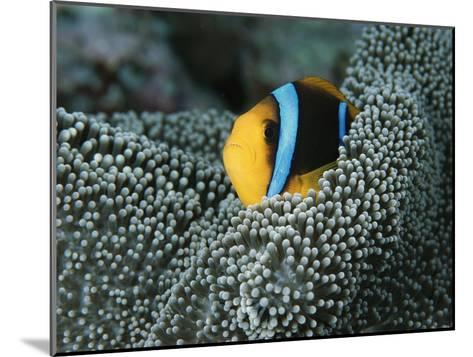 Orange-Fin Anemonefish Among the Tentacles of a Sea Anemone-Tim Laman-Mounted Photographic Print