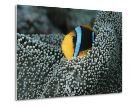 Orange-Fin Anemonefish Among the Tentacles of a Sea Anemone-Tim Laman-Metal Print