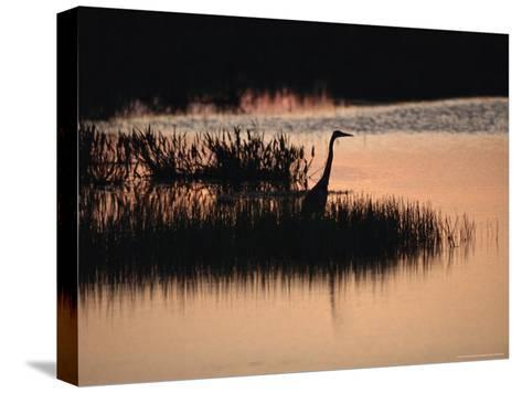 Silhouette of a Great Blue Heron, Ardea Herodias, at Sunset-Raymond Gehman-Stretched Canvas Print