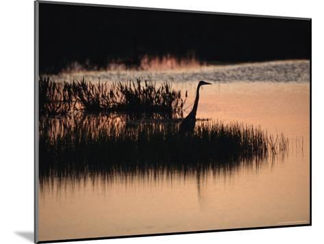 Silhouette of a Great Blue Heron, Ardea Herodias, at Sunset-Raymond Gehman-Mounted Photographic Print