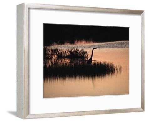 Silhouette of a Great Blue Heron, Ardea Herodias, at Sunset-Raymond Gehman-Framed Art Print