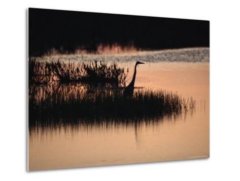Silhouette of a Great Blue Heron, Ardea Herodias, at Sunset-Raymond Gehman-Metal Print