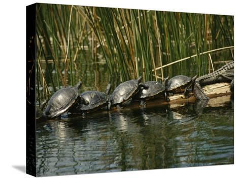 Turtles Line Up on the Safe Side of an Alligator-Raymond Gehman-Stretched Canvas Print