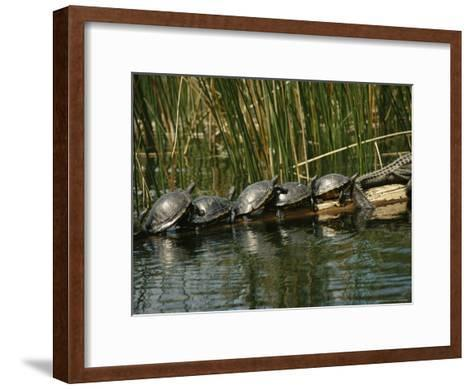Turtles Line Up on the Safe Side of an Alligator-Raymond Gehman-Framed Art Print