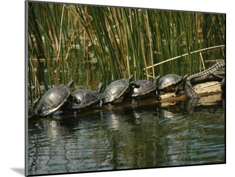 Turtles Line Up on the Safe Side of an Alligator-Raymond Gehman-Mounted Photographic Print
