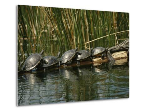 Turtles Line Up on the Safe Side of an Alligator-Raymond Gehman-Metal Print